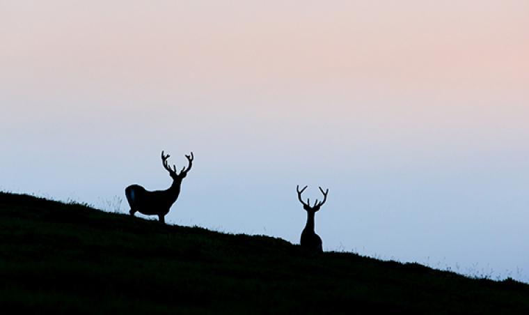 Silhouette de cerf