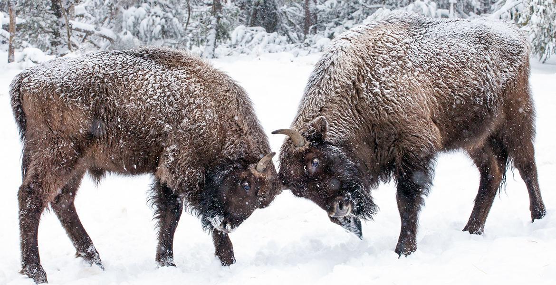 Les bisons d'Europe - Hiver autrement