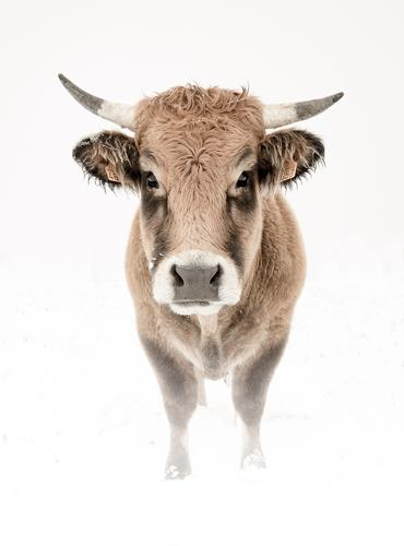 Vache Aubrac en Lozère... en hiver