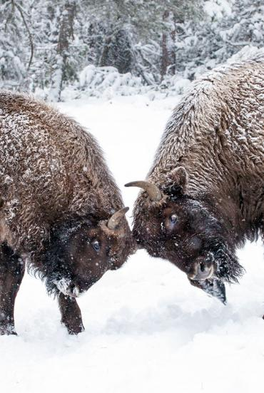 Réserve des bisons d'Europe
