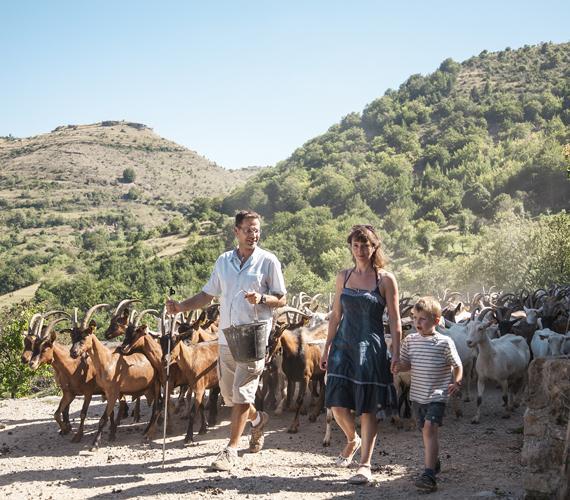 Rentrer le troupeau de chèvres dans les Cévennes