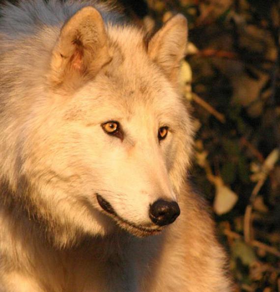 Les Loups du Gévaudan - Lozère - Incontournable
