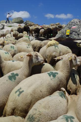 Transhumance des brebis sur le Mont-Lozère
