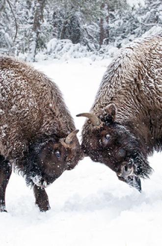 Bisons d'Europe en hiver
