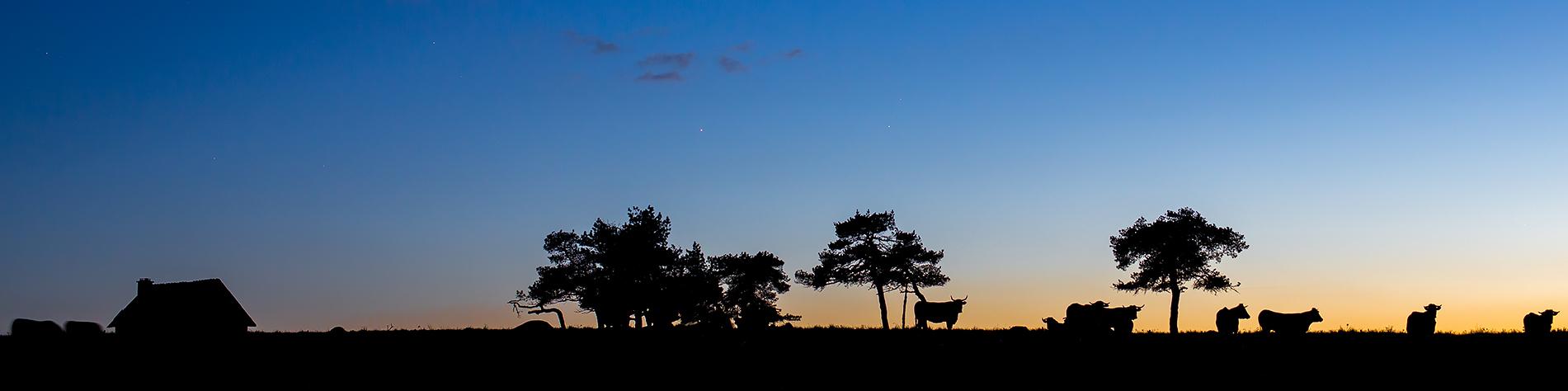 Vaches en contre-jour sur l'Aubrac